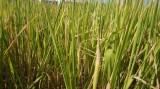 Gần 4.100ha lúa và thanh long bị thiệt hại do hạn, mặn