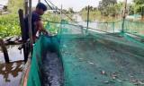 Nuôi thủy sản vùng Đồng Tháp Mười còn nhiều khó khăn
