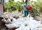 Tái đàn chăn nuôi gắn với phòng, chống dịch bệnh