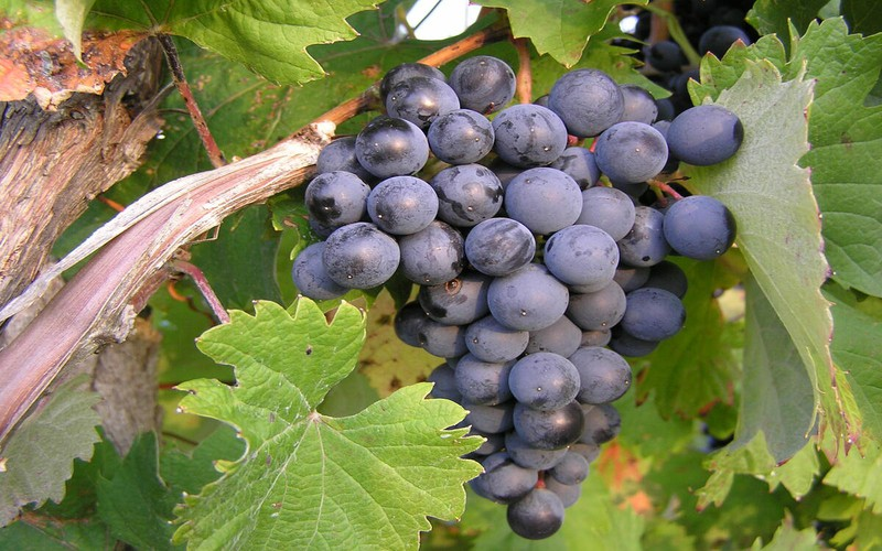 Nho là loại trái cây tuyệt vời có tác dụng làm giảm mỡ máu, viêm nhiễm và điều hòa huyết áp. Nho cũng giàu kali giúp phòng ngừa nguy cơ bị chuột rút.