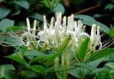 Kim ngân hoa và Cam thảo trong trà thảo mộc giúp tăng cường hệ miễn dịch