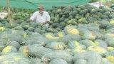 Mộc Hóa: Nông dân trồng dưa gặp khó vì hạn, mặn