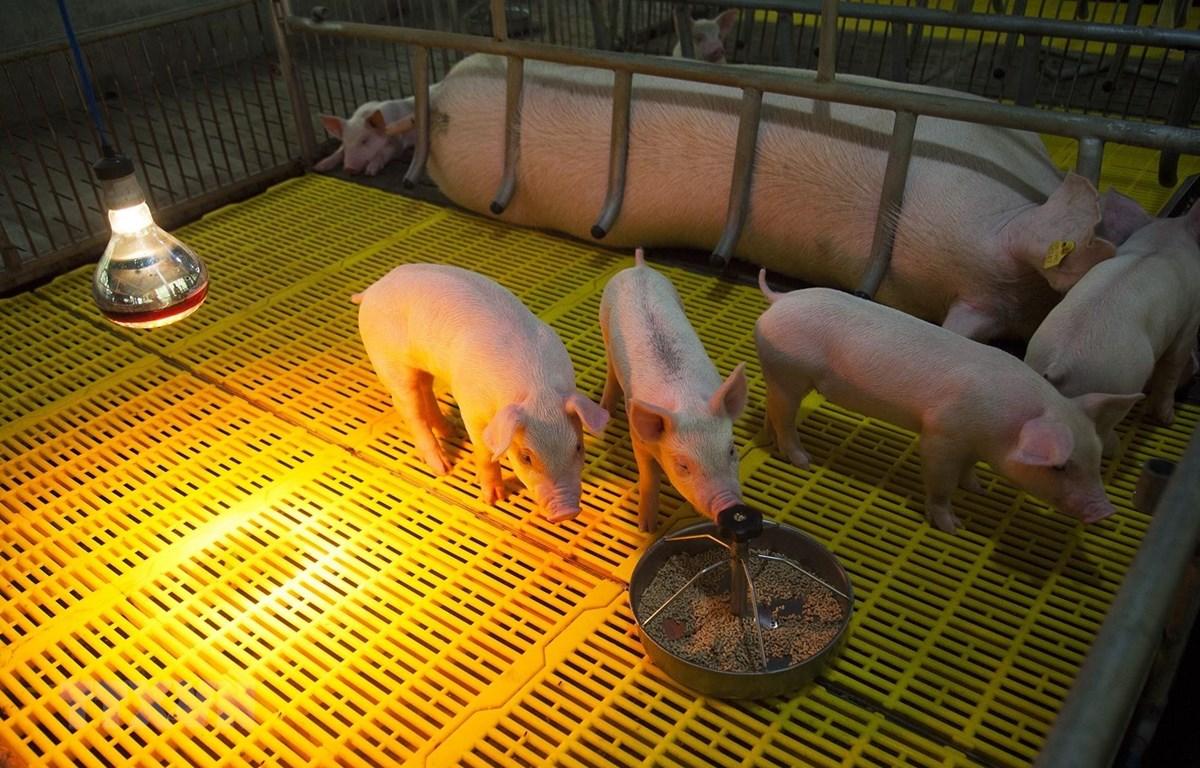 Chuồng nuôi lợn giống của một hộ nông dân ở huyện Tân Hiệp, Kiên Giang. (Ảnh: Hồng Đạt/TTXVN)
