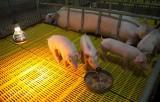 Bổ sung kinh phí cho 55 địa phương bị ảnh hưởng dịch tả lợn châu Phi