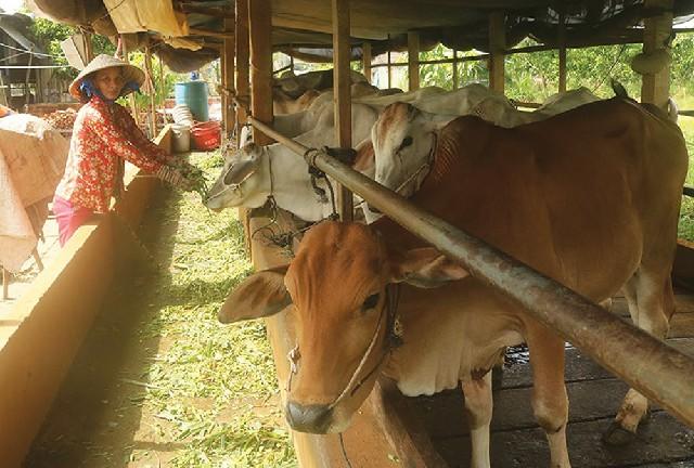 Chị Trần Thị Xuân thoát nghèo từ mô hình trồng cỏ nuôi bò sinh sản