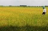 Phấn đấu sản lượng lúa cả năm trên 2,7 triệu tấn