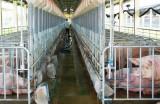 Giá heo tăng cao người chăn nuôi vẫn dè dặt khi tái đàn
