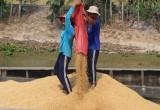 Vụ Hè Thu 2020: Giá lúa tăng, nông dân phấn khởi