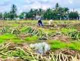 Thủ Thừa: Giá thấp, nông dân chặt bỏ thanh long