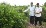 Đức Hòa: Nông dân trồng chanh phấn khởi