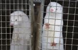 Covid-19 bùng phát ở trang trại chồn: Động vật có lây sang con người?