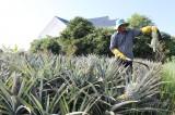 Sản xuất nông nghiệp ứng dụng công nghệ cao gắn với chế biến nông sản