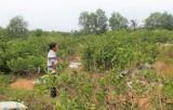 Bến Lức: Trên 2.000ha chanh bị thiệt hại