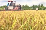 Lúa gạo tăng giá, doanh nghiệp và nông dân ĐBSCL phấn khởi