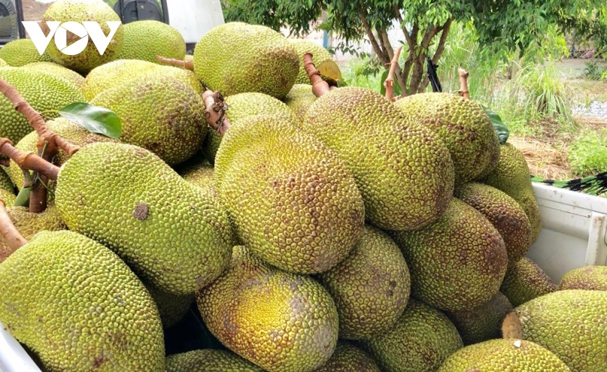 Mít Thái được thu mua với giá cao khiến nhà vườn phấn khởi.