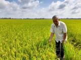 Hiệu quả từ mô hình sản xuất lúa ứng dụng công nghệ cao