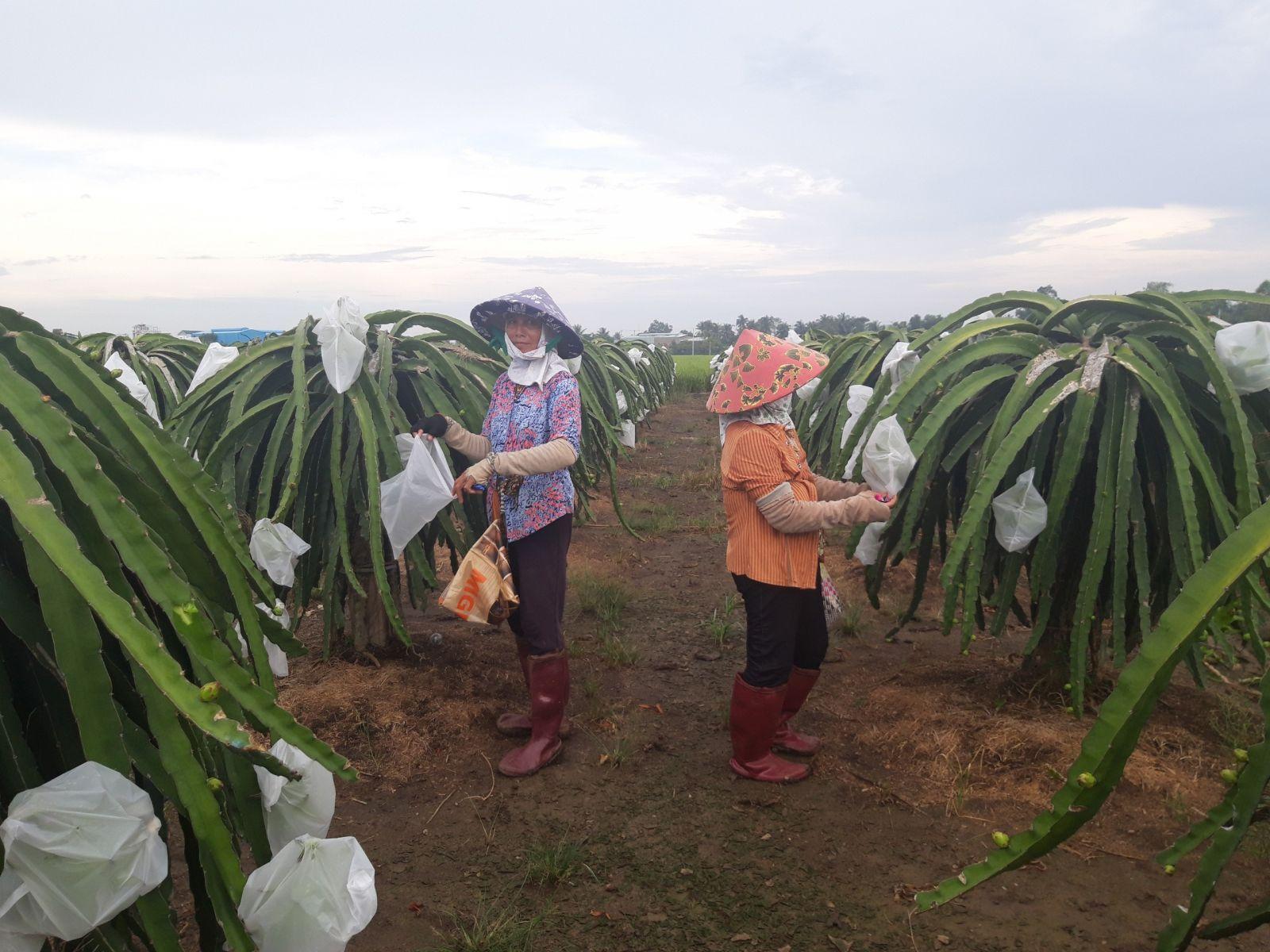 Mô hình sản xuất thanh long thuận tự nhiên của Giám đốc Hợp tác xã Thanh long Quê Mỹ Thạnh - Lê Văn Chín