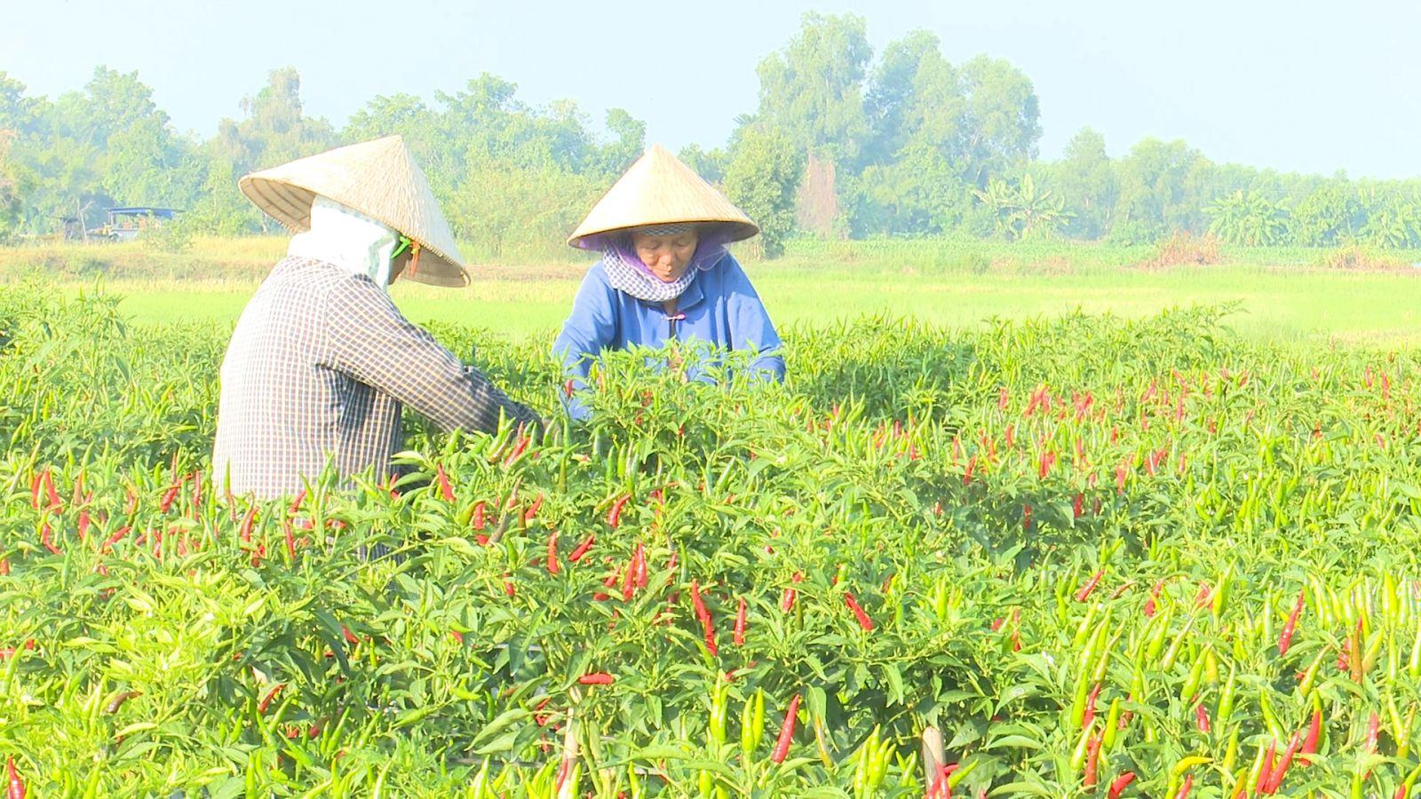 Diện tích trồng ớt trên địa bàn xã Lộc Giang đang ngày càng thu hẹp