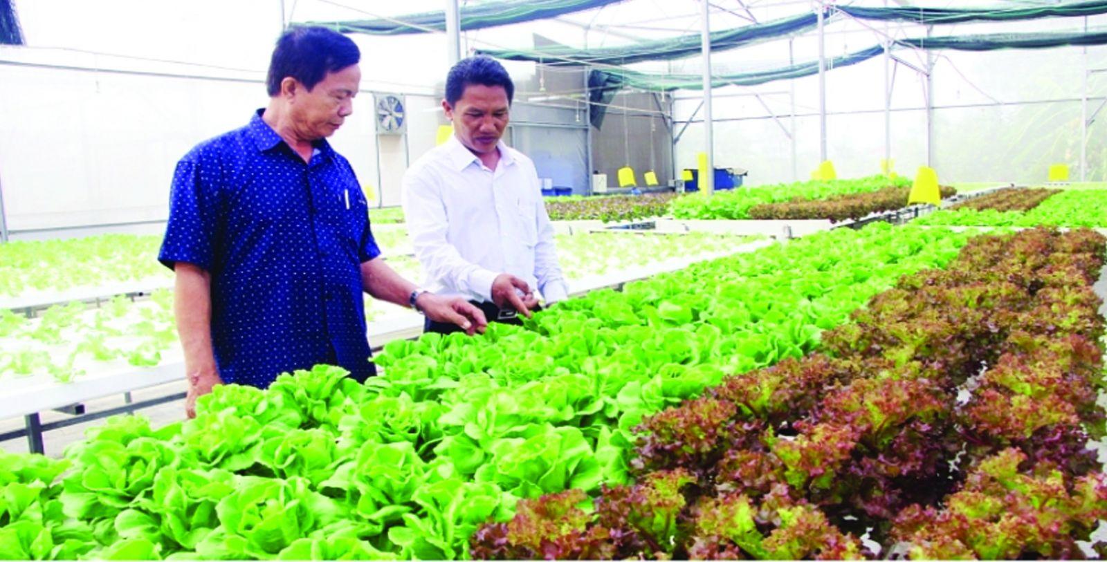 The model of growing hi-tech clean vegetables is increasingly effective
