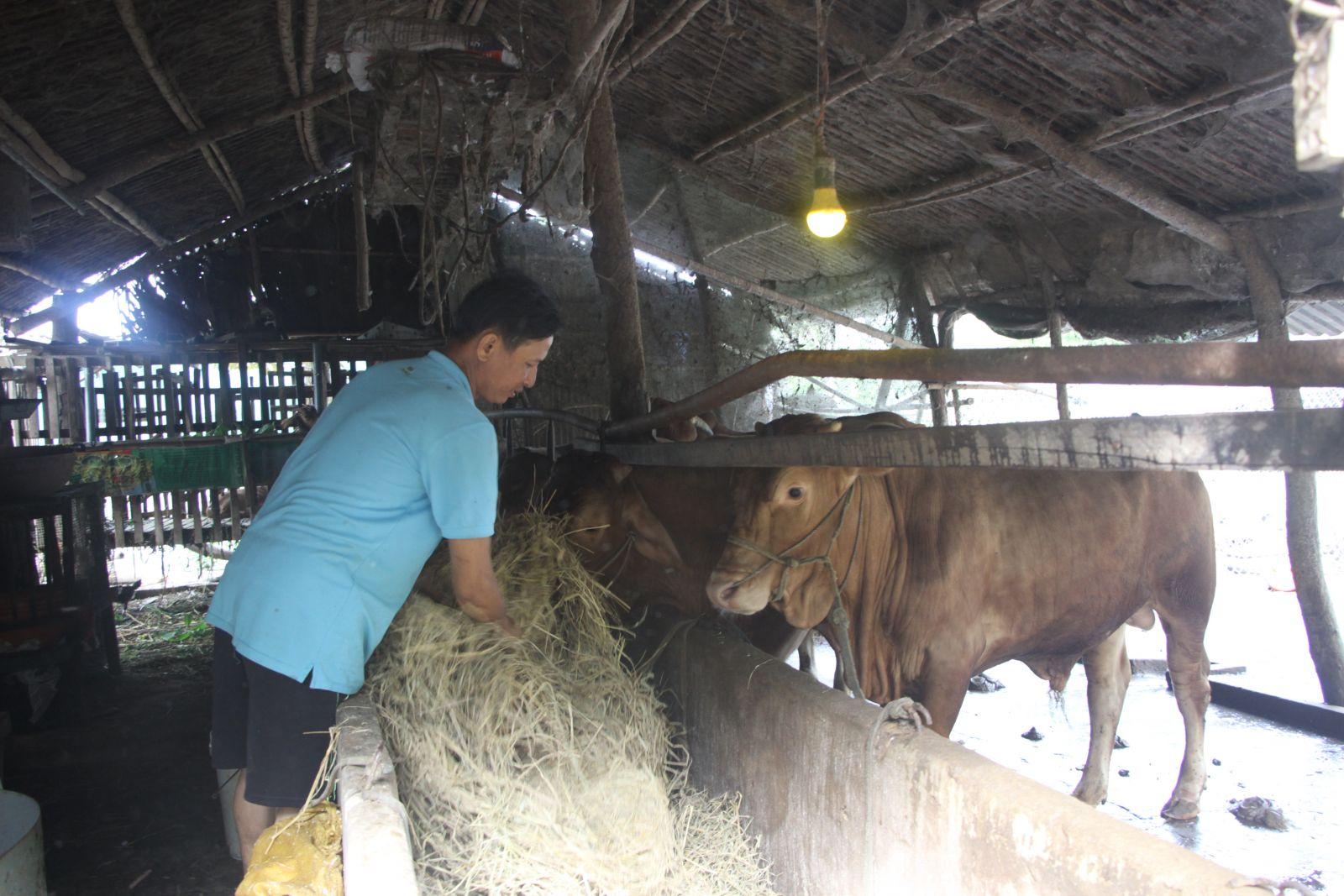 Được hỗ trợ tiếp cận nguồn vốn vay của Ngân hàng Chính sách xã hội, vợ chồng anh Nguyễn Hoàng Sơn mua bò về nuôi