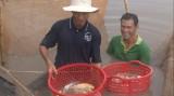 Tăng thu nhập từ nuôi cá Koi