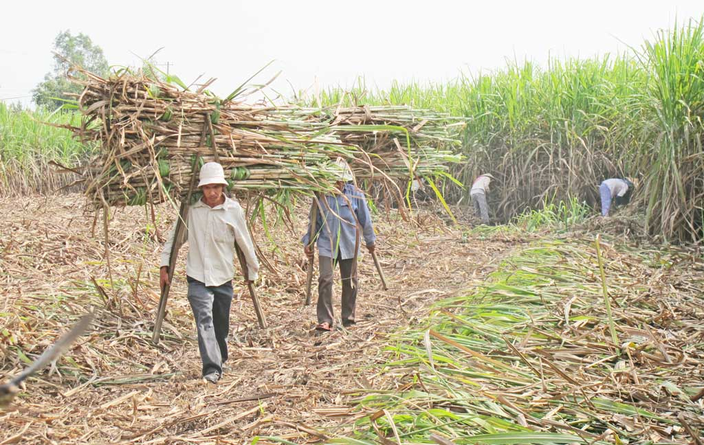Sugar cane prices are low, so its area is continuously decreasing