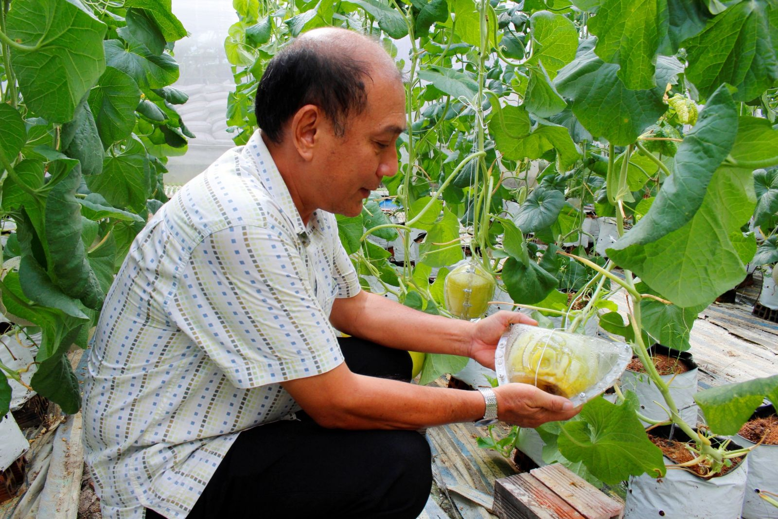 Planting cantaloupe with Israeli technology brings high economic efficiency
