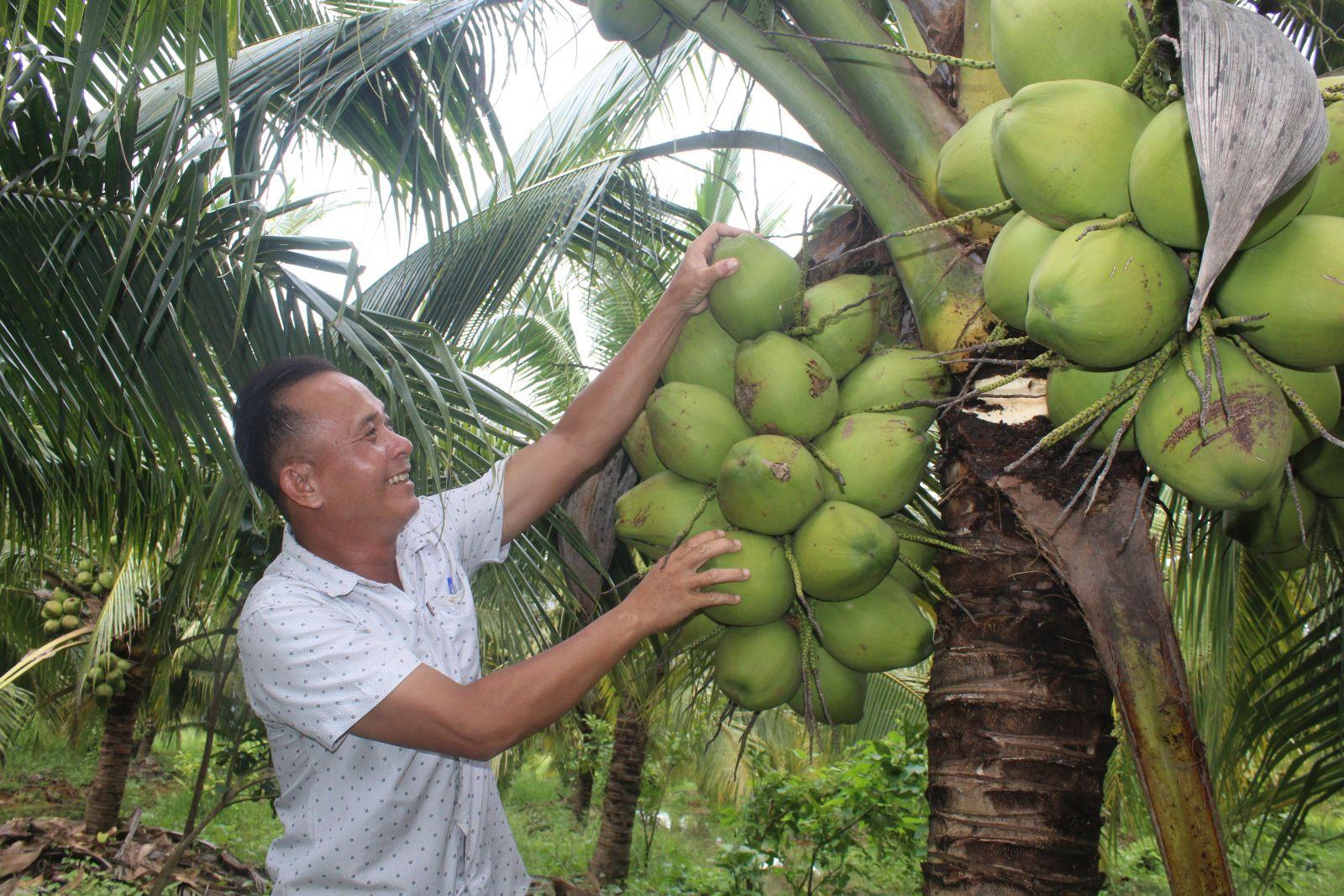 Ông Phi là người đầu tiên đưa giống dừa xiêm dứa bén rễ trên vùng đất khó, từ đó mở ra nhiều hướng đi mới cho nông dân nơi đây vươn lên làm giàu