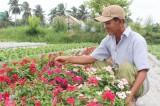Trồng hoa dừa cạn lợi nhuận trên 50 triệu đồng/tháng