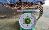 Nông dân Bạc Liêu bắt được cá sấu ngoài ruộng
