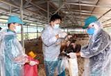 Cần Đước: Tiêu hủy 12.000 con gà nhiễm H5N1