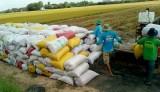 Kiến Tường: Sản lượng lúa năm 2020 đạt trên 176.000 tấn