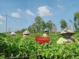 Thu nhập cao từ trồng hoa thiên lý