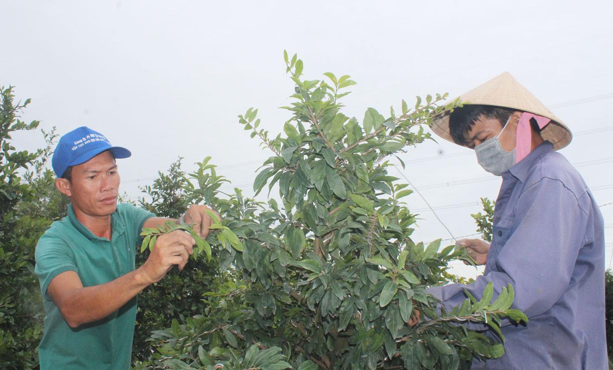 Gia đình anh Nguyễn Phúc Hải đang tất bật tạo dáng, tạo nụ và sửa nhánh cho vườn mai vàng nhằm phục vụ tốt thị trường Tết Nguyên đán