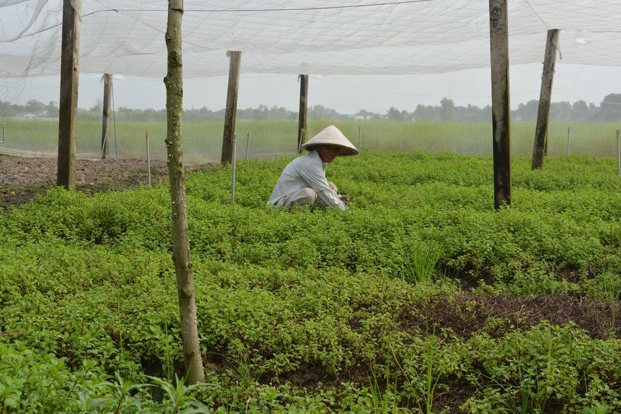 Mô hình trồng rau trong nhà lưới của ông Huỳnh Kim Công