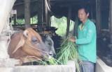 Nhựt Chánh: Kinh tế ổn định nhờ chuyển đổi cây trồng, vật nuôi