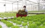 Phát triển kinh tế từ trồng rau thủy canh trong nhà màng
