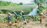 Giá khóm tăng, nông dân Tân Tây có lãi cao