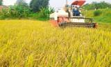 Tân Thạnh: Sản xuất lúa ứng dụng công nghệ cao mang lại hiệu quả