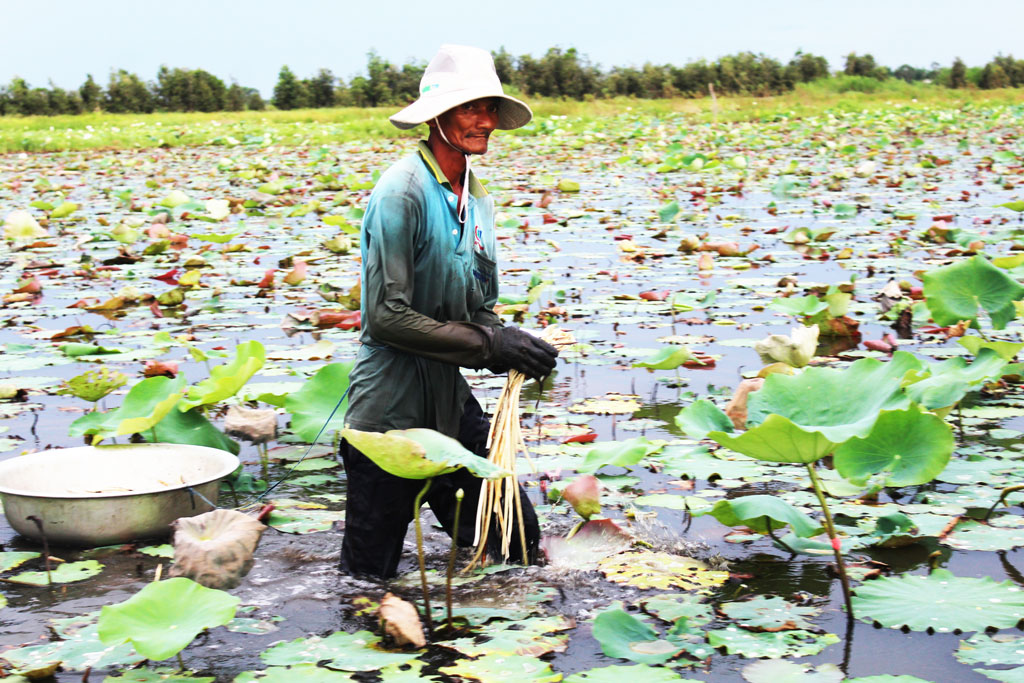 Lotus growers are often forced the price by traders over the past years because they have not had a stable output