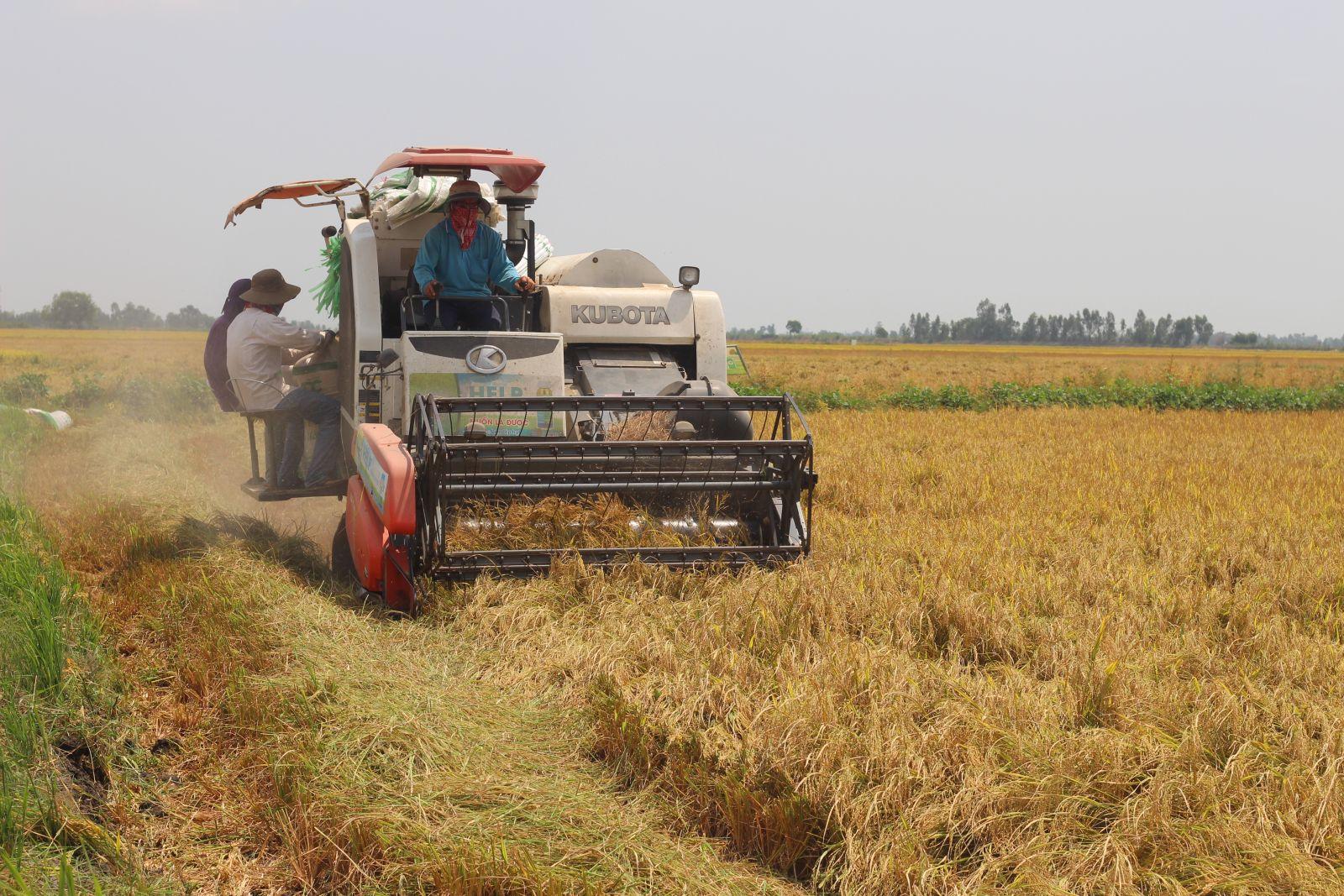 Nông dân thu hoạch lúa