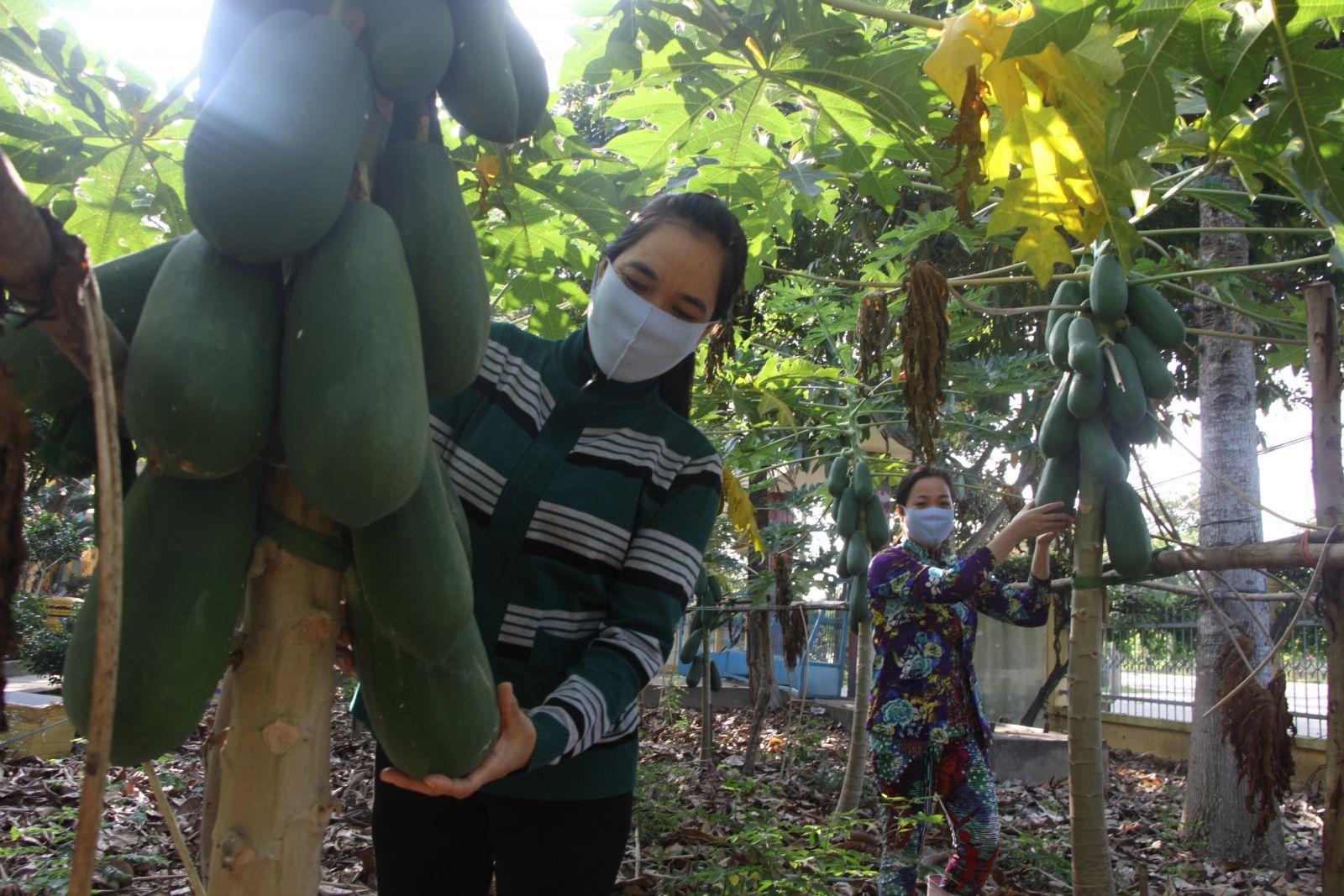 Nhờ những vườn rau, trái sạch này, học sinh trường giảm được tiền ăn trong tháng (Trong ảnh: Vườn đu đủ sai trái gần cổng trường)