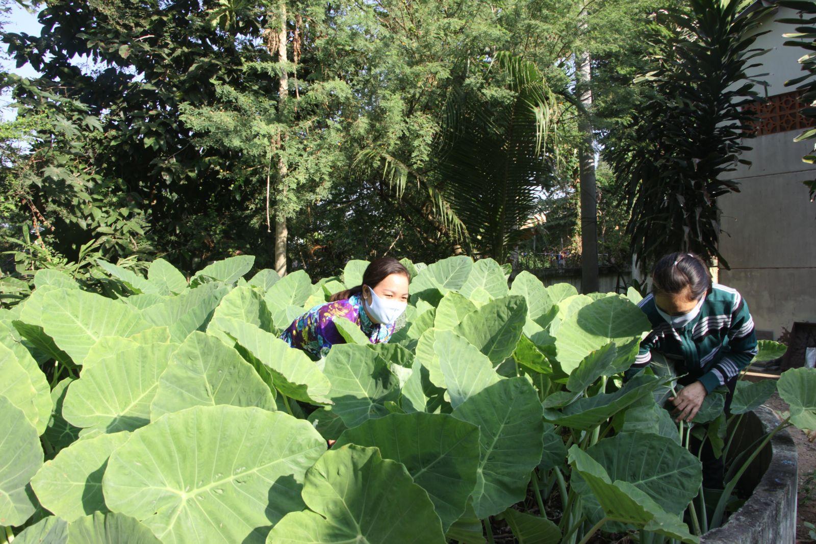 Vườn rau tại Trường Tiểu học Khánh Hưng do chính tay thầy, cô giáo trồng và chăm sóc (Trong ảnh: Vườn bạc hà xanh tốt phía sau trường)