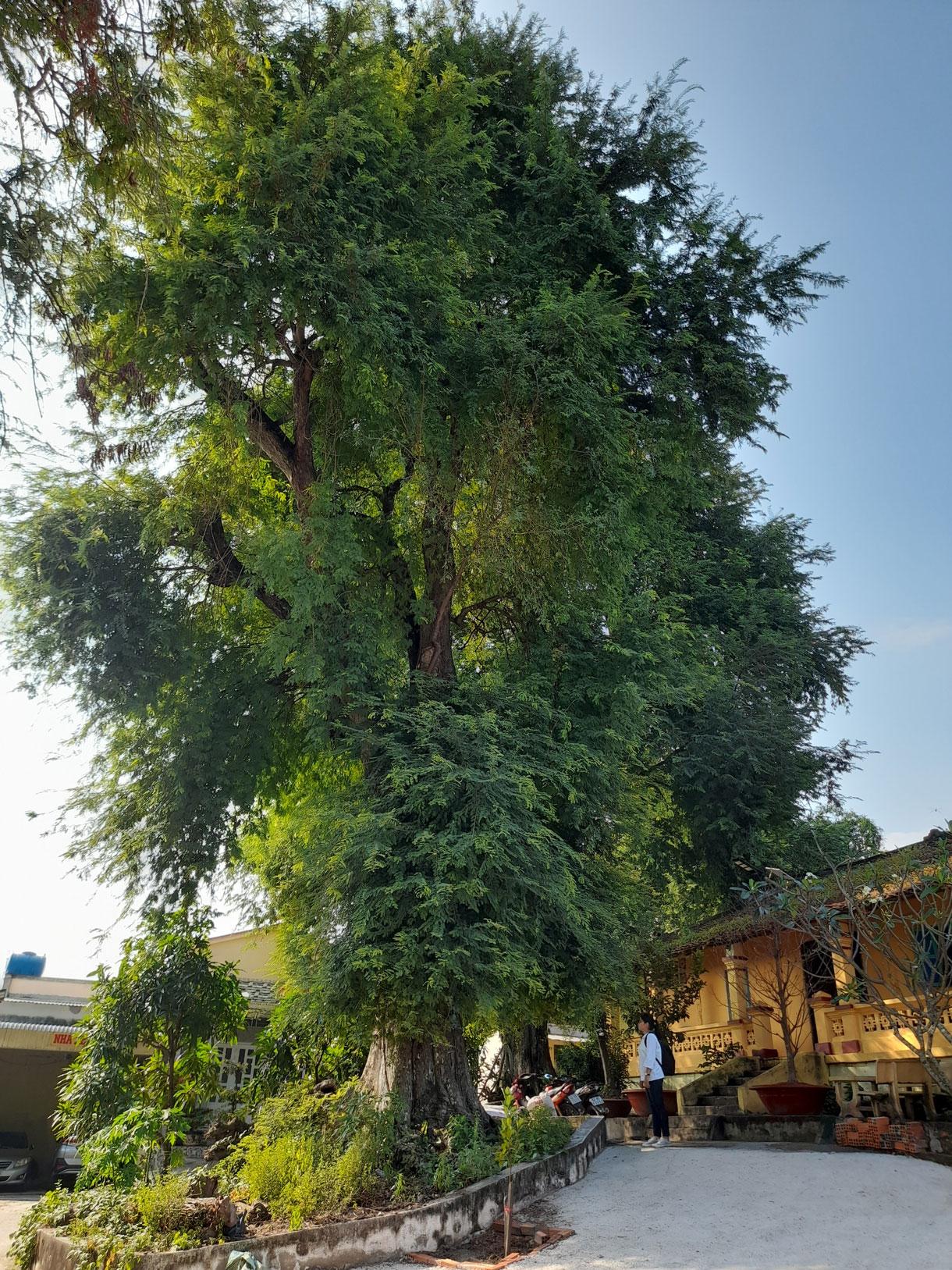 Một trong 10 cây me cổ thụ tại chùa Rạch Núi (Tổ đình Linh Sơn, xã Đông Thạnh, huyện Cần Giuộc) được công nhận Cây di sản Việt Nam