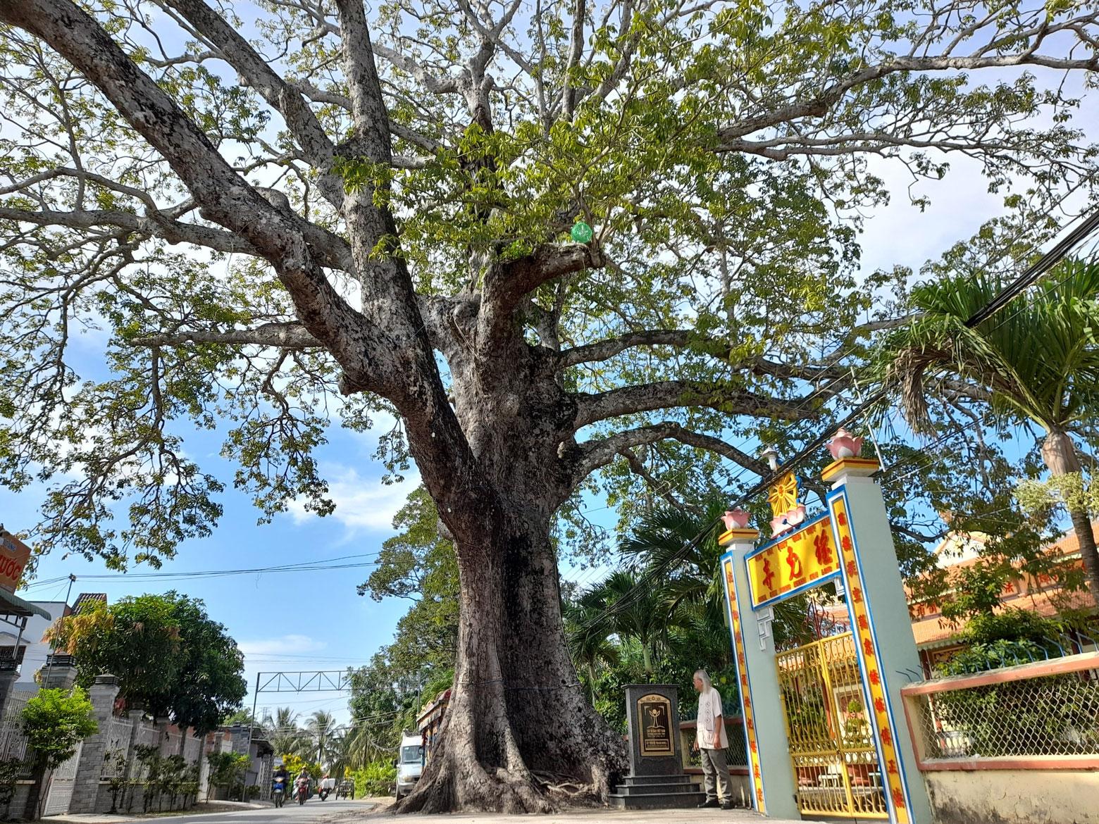 Cây trôm mõ (phường Khánh Hậu, TP.Tân An) gắn liền với lịch sử khẩn hoang thời cha ông khai phá vùng đất Nam bộ