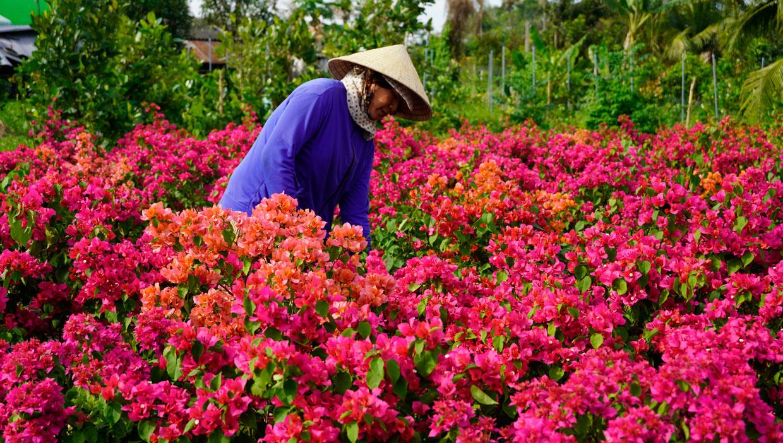 Nhà vườn chăm sóc 500 chậu hoa giấy bán tết, với giá bình quân 500 ngàn đồng/chậu