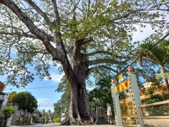 Cây di sản Việt Nam trên đất Long An