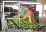 Sản xuất sạch - Hướng đi bền vững cho cây chanh