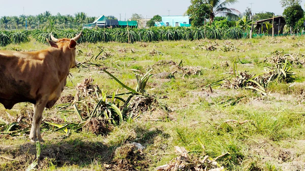 Một vườn thanh long bị phá bỏ tại xã Đức Tân, huyện Tân Trụ