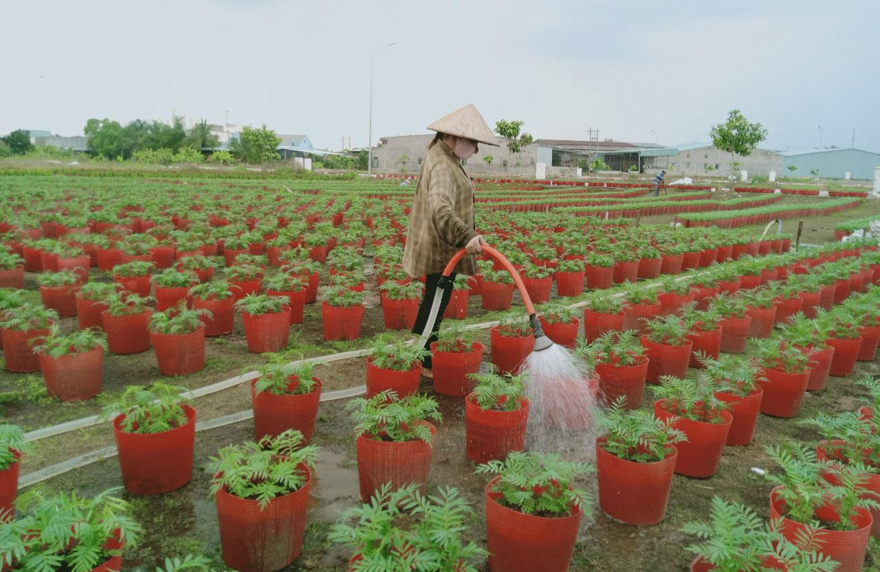 Các chủ vườn tích cực chăm sóc hoa để kịp cung ứng ra thị trường